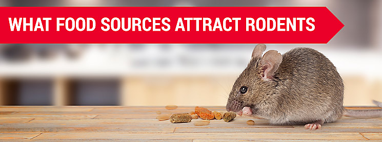 Rodent Food & What Food Sources Attract Rodents?