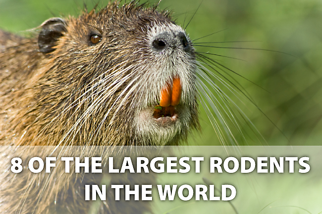 largest rodents