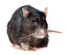 Mice Nest In House Id Mouse Problem