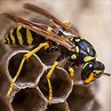 Wasps & Yellowjackets