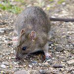 rat questions