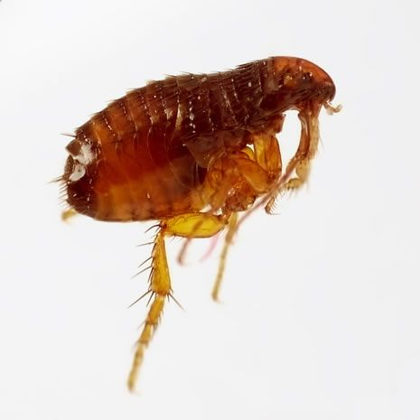 Why do fleas bite?