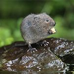ID-moles-voles