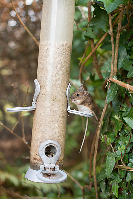 Victor Mouse on Bird Feeder