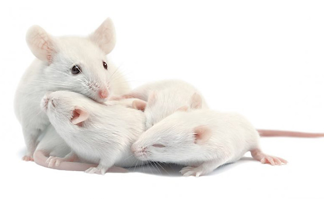 mouse facts how many baby mice in a litter
