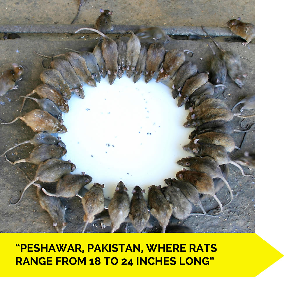Rodent Problem in Peshawar