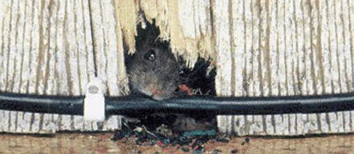 A wall and wire gnawed by a rat