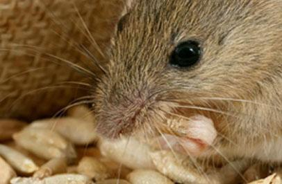 Learn All About the House Mouse