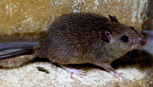 How to Identify & Eliminate Roof Rats