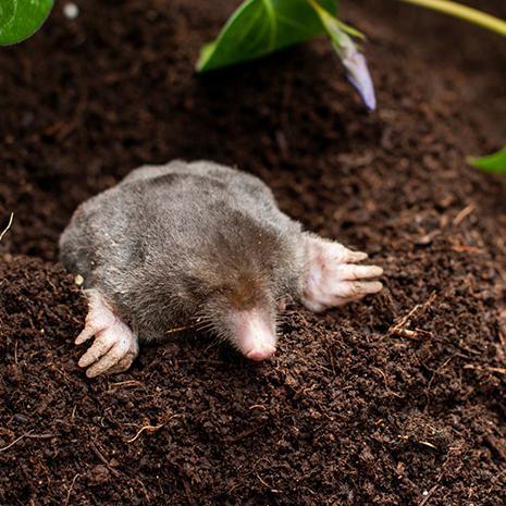 Durable Trap for Moles
