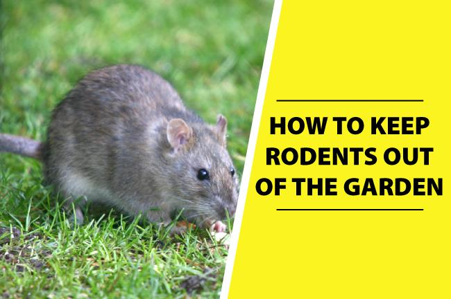 rat burrows in garden | Fasci Garden