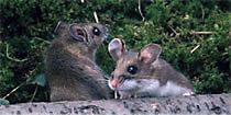 Deer Mouse Family