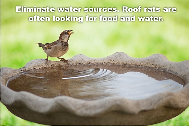How To Identify And Eliminate Roof Rats