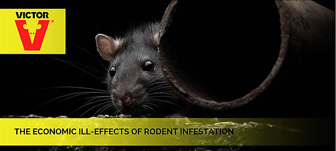 Ill-Effects of Rodent Infestation