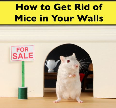 Mice In Walls
