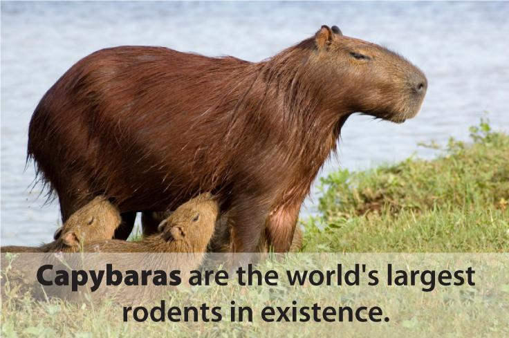 A Capybara. Capybaras are the world's largest rodents in existence.