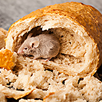 Foods that attract rodents