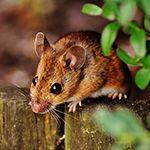 Rodent Season