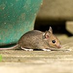 rodent bait faqs