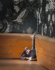 mouse at mousehole in a luxury old-fashioned roon