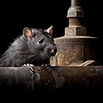 Rat Myths
