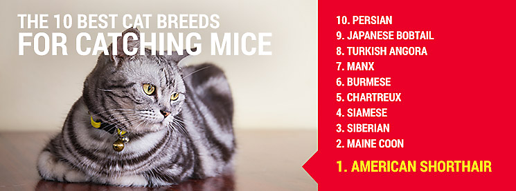 Top cat breeds to hunt mice