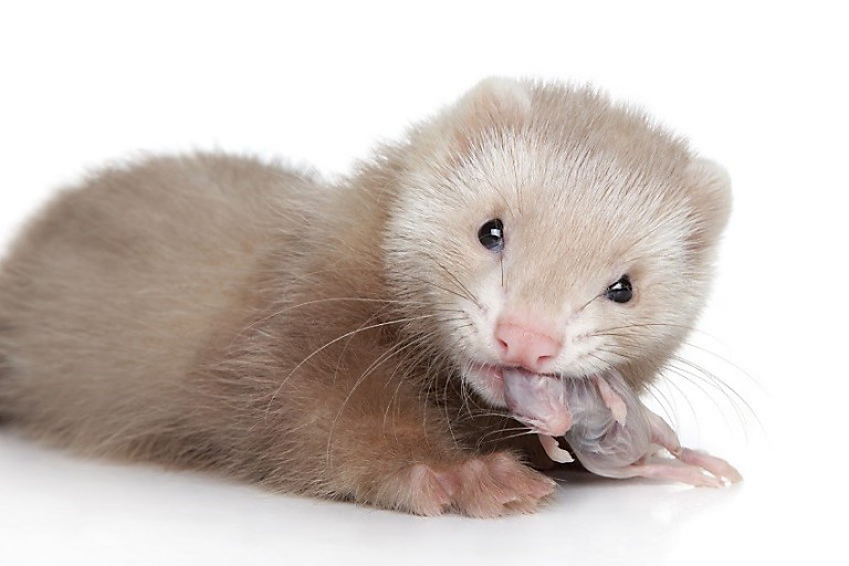 Ferret pup eats mouse on white background