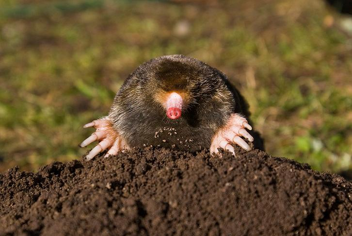 Mole emerging from molehill