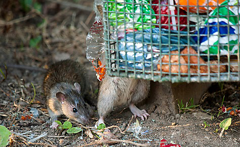 15 Rat-Trapping Tips
